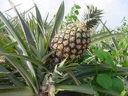 ananas - izvor bromelaina
