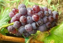 crveno grožđe