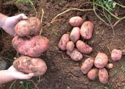 krumpir - izvor kalija