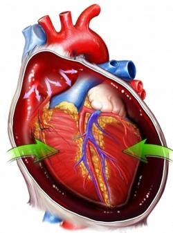 srcani mišić i osrčje